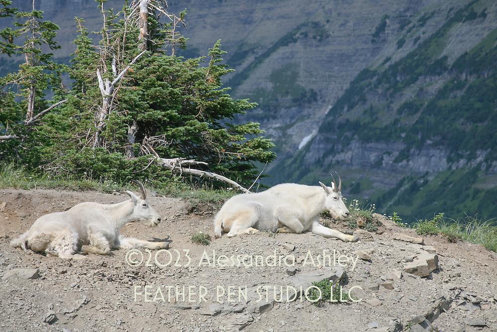 Mountain goats on mountainside, Glacier National Park, Montana.