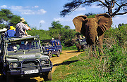 Stupid tourists approach an elephant too closely. Candidate for the Darwin Award? Lake Manyara National Park, Tanzania.