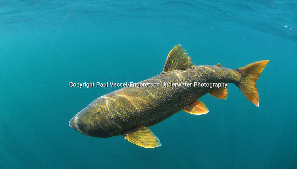 Lake Trout<br /> <br /> PAUL VECSE/ENGBRETSON UNDERWATER PHOTO