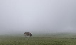 THEMENBILD - eine Kuh auf einer Weide im Nebel, aufgenommen am 09. Oktober 2019 in Kaprun, Oesterreich // a Cow on a pasture in the fog in Kaprun, Austria on 2019/10/09. EXPA Pictures © 2019, PhotoCredit: EXPA/ JFK