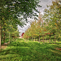 Tree farm in Scandia, Minnesota showing trees that will be planted on the re-vamping of Nicollet Mall in Minneapolis, Mn.  (Photo by: Adam Bettcher for the MDID)