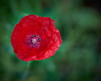 Small (Icelandic?) Poppy flower. Backyard spring nature in New Jersey. Image taken with a Fuji X-T1 camera and 60 mm f/2.4 macro lens (ISO 200, 60 mm, f/4, 1/200 sec).