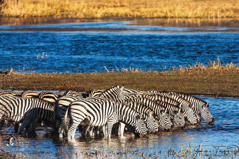 A dazzle of zebra (Equus quagga) drinking side by side in the Boteti River,,Makgadikgadi Pan, Botswana, Africa