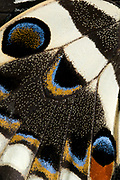 Close-up abstract image of an underside hindwing section of a Japanese swallowtail butterfly (Papilio xuthus) showing the colourful arrangements of eye-spots and markings. Long Sutton Wildlife Park. Lincolnshire