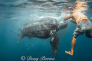 a traditional subsistence hunter clubs a leatherback sea turtle, Dermochelys coriacea, restrained by two harpoon lines; Kei ( or Kai ) Islands, Moluccas, eastern Indonesia, Banda Sea, Southwest Pacific Ocean