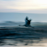 Common crane (Grus grus) in flight with motion blur. Photographed in the Hula Valley, Israel, in January