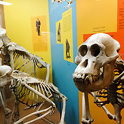 Skeletons of various primates on display at the Smithsonian Institution's National Natural History Museum in Washington DC.
