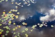 Lilly Pads on Seeley Lake, Montana.