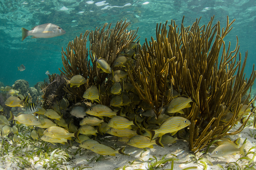 Bluestriped Grunt (Haemulon sciurus) & Schoolmaster (Lutjanus apodus)<br /> Hol Chan Marine Reserve<br /> near Ambergris Caye and Caye Caulker<br /> Belize<br /> Central America