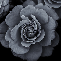 """""""Last Survivor"""" monochrome<br /> <br /> The beauty of the last rose in the last days of summer in black and white. An exploration of Darkness and light!"""