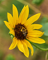 Bee working a Sunflower. Image taken with a Leica SL2 camera and 24-90 mm lens.