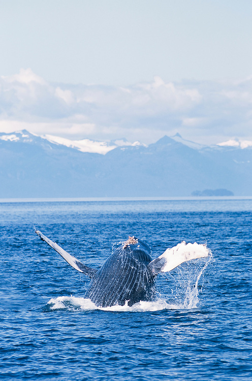 Alaska. Southeast AK. Frederick Sound. Humpback Whale (Megaptera novaeangliae) breaching.