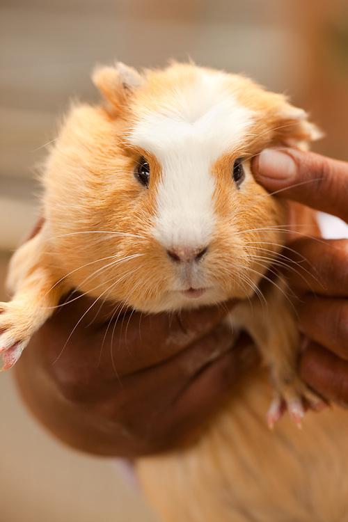 Guinea pig in a hatchery.