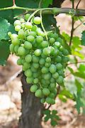clairette unripe grapes le cellier des princes chateauneuf du pape rhone france