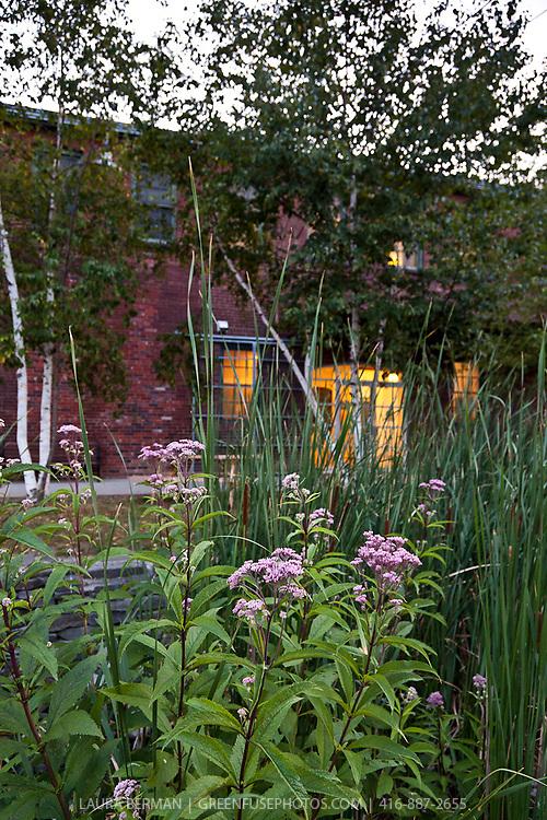 Landscaping with native plants: Joe-Pye Weed ( Eupatorium), Cattails ( Typha), River Birch (Betula nigra)