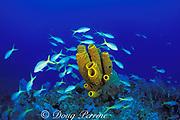 yellowtail snappers, Ocyurus chrysurus, and <br /> yellow tube sponge, Aplysina fistularis,<br /> Cayman Brac ( Caribbean )