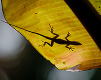 Lizard silhouette on a banana leaf. Image taken with a Fuji X-H1 camera and 200 mm f/2 OIS lens + 1.4 x teleconverter