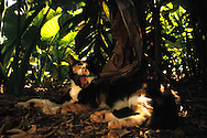 "USA, Vereinigte Staaten Von Amerika: Hauskatze (Felis catus domesticus), Felidae, ""Piglet"" gähnt in der Mittagshitze, ruht im Schatten des Dickichts vom Tropischem Garten aus, Hemingway Haus und Museum, Key West, Florida 