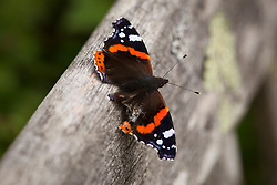 Red Admiral Butterfly resting on bench. Vanessa atalanta