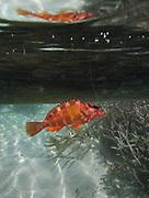 Colorful orange corral fish, caught off Mantabuan island.