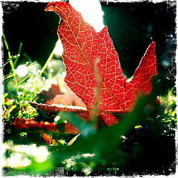 Leaf in the garden.<br /> Picture taken with the Hipstamatic iPhone photo app.