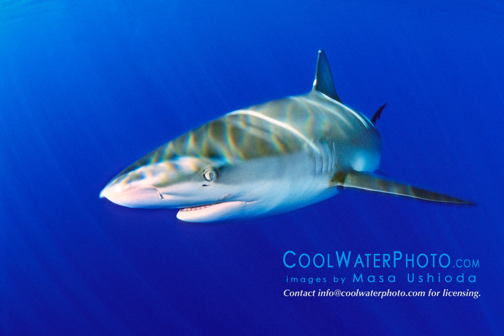 Galapagos shark, Carcharhinus galapagensis, North Shore, Oahu, Hawaii, Pacific Ocean