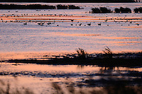 Waterfowl, ducks and swans, Anklamer Stadtbruch, Germany, Oder river delta/Odra river rewilding area, Stettiner Haff, on the border between Germany and Poland