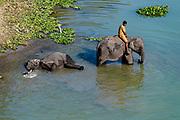 Local mahoot riding and bathing his elephant in Kaziranga National Park,. north-east India.