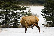 Elk near Banff townsite<br /> Banff National Park<br /> Alberta<br /> Canada