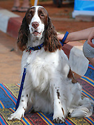 Israel, Tel Aviv, The International Dog Show 2010 English Springer Spaniel