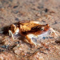 """""""Rãzinha Linhares (Physalaemus aguirrei) fotografado em Linhares e Sooretama, Espírito Santo -  Sudeste do Brasil. Bioma Mata Atlântica. Registro feito em 2014.<br /> <br /> <br /> <br /> ENGLISH: Linhares Dwarf Frog photographed in Linhares and Sooretama, Espírito Santo - Southeast of Brazil. Atlantic Forest Biome. Picture made in 2014."""""""