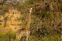 Giraffe, Kruger National Park, South Africa