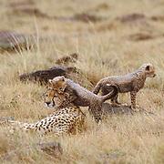 Cheetah, (Acinonyx jubatus) Cubs playing with mother. Masai Mara Game Reserve. Kenya. Africa.