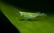 Predatory katydid, probably from the genus Phlugis.  La Selva, Ecuador.
