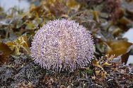 Edible Sea Urchin - Echinus esculentus
