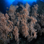 Large, beautiful black coral (Anthipathes sp.) formation at Hukurila Cave in Ambon, Indonesia