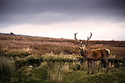 A male wild Red Deer in Sutherland, Scotland