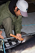 Joey Pratt, research director of Canadian Shark Conservation Society, places a spaghetti tag into the dorsal fin of a porbeagle shark ( Lamna nasus ) for research, New Brunswick, Canada ( Bay of Fundy )