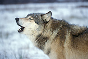 Timber or Grey Wolf, Canis Lupus,  Minnesota USA, controlled situation, in snow, winter, howling