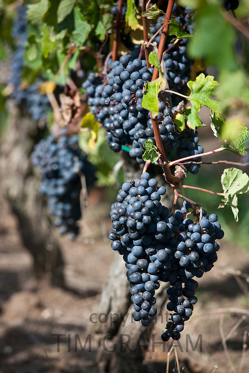 Black grapes in vineyard at St Emilion in the Bordeaux wine region of France