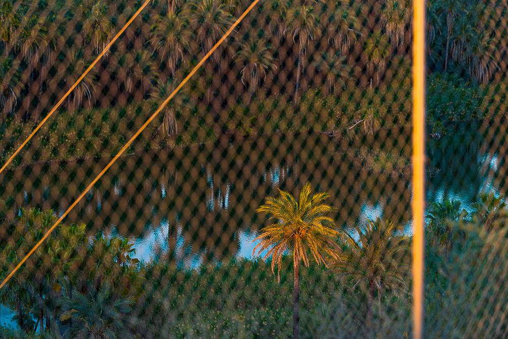 Palm tree and chain link fence, evening light, February, San Ignacio, Baja, Mexico