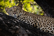 Beautiful Leopard relaxes while staying vigilant on the branch of the Mashatu tree in Botswana.