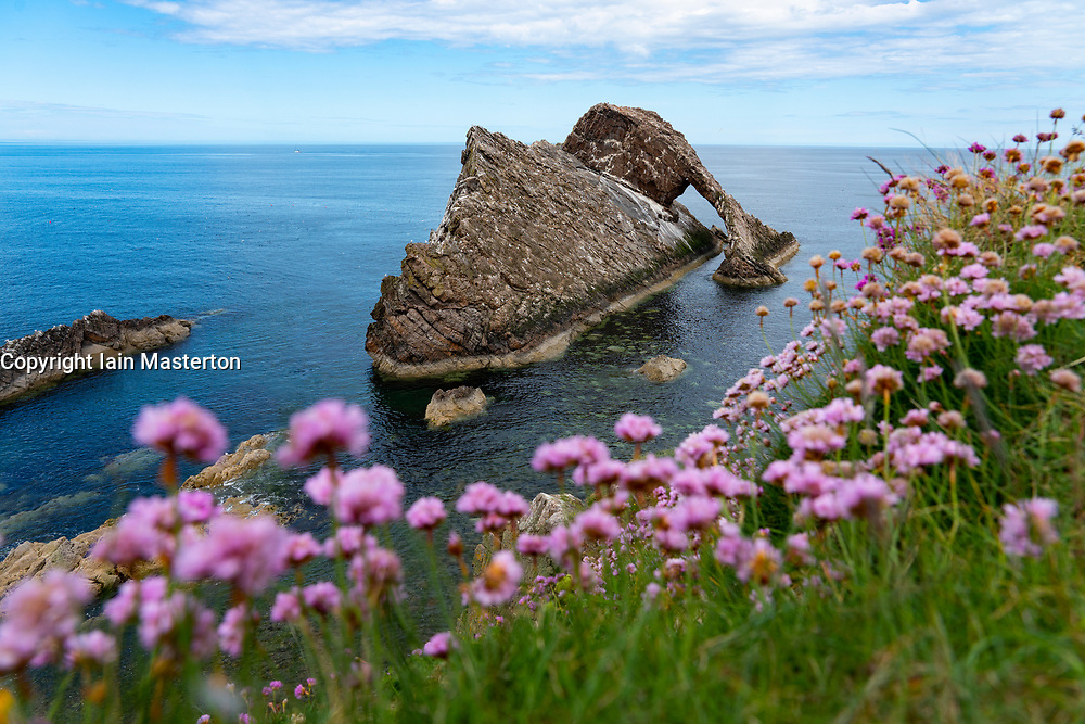Purple clover on cliffs surrounding Bow Fiddle Rock at Portnockie on Moray Firth in Moray, Scotland, UK