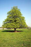 Tilia X europaea Common Lime tree, Sutton, Suffolk, England