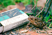 A toad next to a discarded Players No. 6 empty cigarette packet, England, United Kingdom