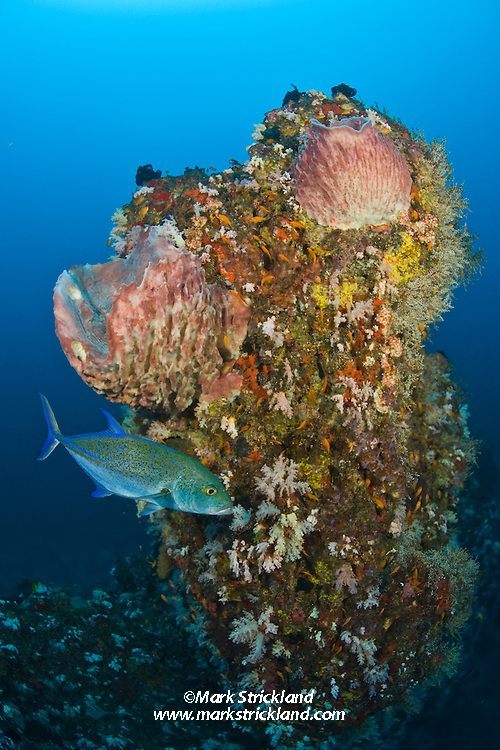 A Blue-fin Trevally, Caranx melampygus, patrols near a deep pinnacle that is adorned with barrel sponges and soft corals. Narcondam Island, Andaman Islands, Andaman Sea, India
