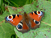 Close-up of a Peacock butterfly (Inachis io) resting with open wings on a leaf in a Norfolk open woodland habitat in summer