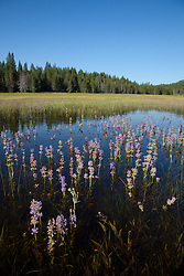 """""""Wildflowers in the Water 2"""" - These wildflowers were flooded by snowmelt at Prosser Reservoir in Truckee, CA."""