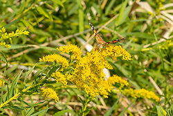 Painted Lady Butterfly (Vanessa cardui)