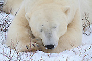 Polar Bear sleeping on the Tundra near Churchill, Manitoba.